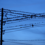 Several black birds sitting on power lines